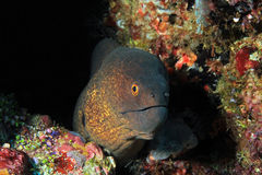 Yellow-edged Moray Royalty Free Stock Images