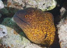 Yellow-edged moray eel Stock Image