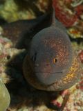 Yellow-edged Moray Stock Image