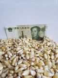 China, maize producing country, dry corn grains and chinese banknote of one yuan. Yellow edible seed, agriculture and harvest, world cereal production royalty free stock photography