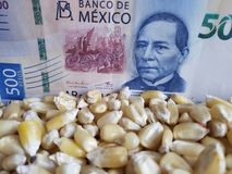 Mexico, maize producing country, dry corn grains and mexican banknote of 500 pesos. Yellow edible seed, agriculture and harvest, world cereal production stock image