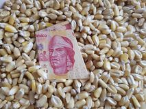 Mexico, maize producing country, dry corn grains and mexican banknote of 100 pesos. Yellow edible seed, agriculture and harvest, world cereal production stock photography