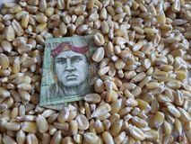 Peru, maize producing country, dry corn grains and peruvian banknote of ten soles. Yellow edible seed, agriculture and harvest, world cereal production royalty free stock photo
