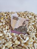 Russia, maize producing country, dry corn grains and russian banknote of 100 rubles. Yellow edible seed, agriculture and harvest, world cereal production royalty free stock photos
