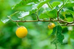 Yellow eggplants (Solanum aculeatissimum Jacq. )in garden. Royalty Free Stock Images