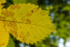 Yellow elm leaf. Close-up of yellow elm leaf Stock Photography