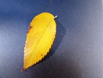 Yellow elm leaf. Colorful yellow elm leaf - isolated Royalty Free Stock Photography