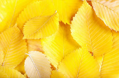 Yellow elm leaves Royalty Free Stock Images
