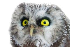 Yellow enormous eyes. Portrait of boreal owl closeup royalty free stock photo