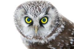 Free Yellow Enormous Eyes. Portrait Of Boreal Owl Closeup Stock Image - 102544471
