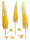 Yellow Eremurus robustus Stock Photos