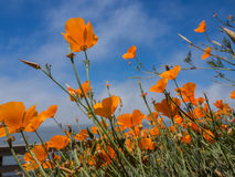 Yellow Eschscholzia californica flowers field. On sky background Royalty Free Stock Photography