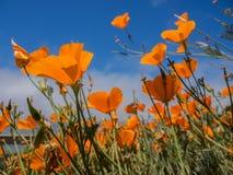 Yellow Eschscholzia californica flowers field. On sky background Stock Photos