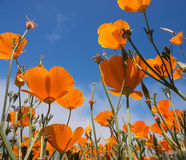 Yellow Eschscholzia californica flowers field. On sky background Royalty Free Stock Image
