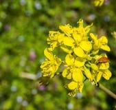 Yellow Evening Primrose – Oenothera biennis stock image