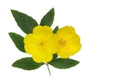 Yellow Evening Primrose Stock Photos