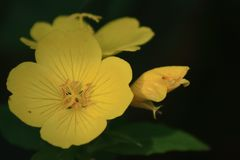 Yellow evening primrose on dark background royalty free stock image
