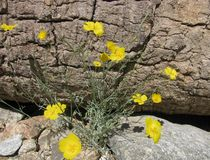 Yellow evening primrose wildflowers blossom in the western desert in spring Stock Image