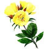 Yellow evening primroses isolated on white Royalty Free Stock Photos