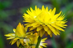 Yellow Everlasting Flower Royalty Free Stock Photography