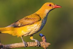 Yellow exotic bird with red beak. Wildlife, unique frames Royalty Free Stock Photos