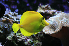 Yellow exotic fish Stock Photos