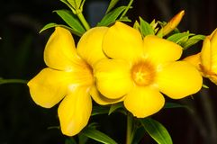 Yellow Exotic Flower in Thailand Stock Images