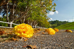 Yellow exotic flowers on a tree and road Royalty Free Stock Image