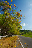 Yellow exotic flowers on a tree and road Stock Images
