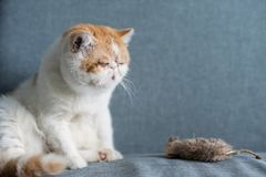 yellow Exotic shorthair cat and fake mouse royalty free stock photo