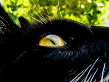 Yellow eye of a black cat against a background of foliage royalty free stock photos