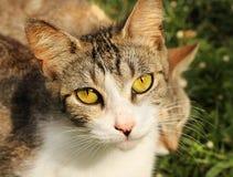 Yellow eye cat Royalty Free Stock Image
