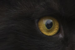 Yellow eye cat close up Stock Images