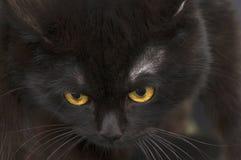 Yellow eye cat close up Stock Photography