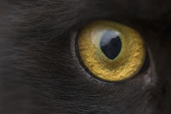 Yellow eye cat close up. Yellow eye black cat close up looks into the lens Stock Photos