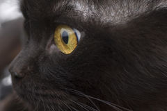 Yellow eye cat close up Royalty Free Stock Images