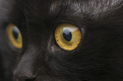 Yellow eye cat close up Royalty Free Stock Photography