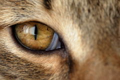 Yellow eye of the domestic cat Royalty Free Stock Photography