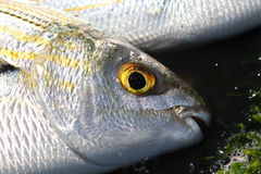 Yellow eye fish Royalty Free Stock Photos
