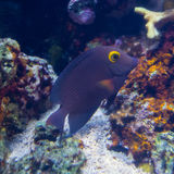 Yellow-Eye Tang Stock Photography