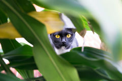Yellow-eyed black cat hiding in bush. Cat hunting Stock Photography