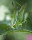 The Yellow Eyed Bug. Macro of a Praying Mantis on leaf Royalty Free Stock Image