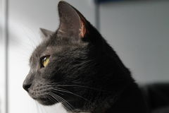 Yellow eyed cat in profile Stock Photos