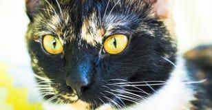 Yellow eyed cat's face close Stock Photography