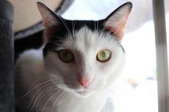 Yellow Eyed Cat royalty free stock image