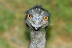 Yellow eyed emu face shot Royalty Free Stock Photo
