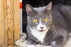 Yellow eyed grey cat Stock Photo