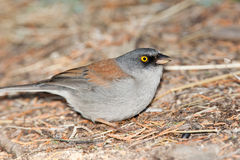 Yellow Eyed Junco Royalty Free Stock Photos
