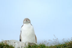 Yellow-eyed Penguin. Standing on cliff Royalty Free Stock Photography