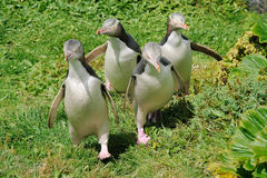 Yellow-eyed Penguin Stock Image